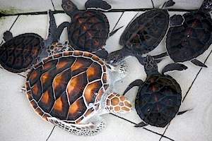 picture of young turtle and hatchlings