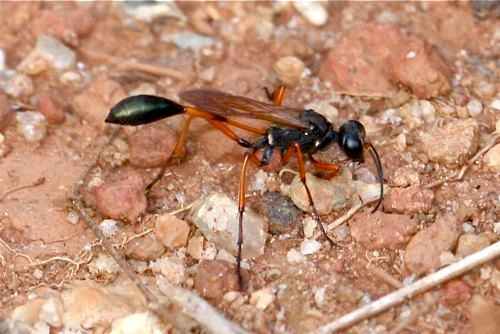 wasp on the ground image