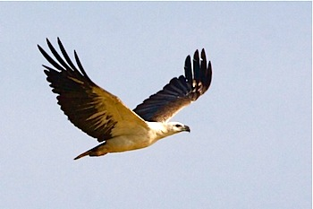 picture of white-bellied sea-eagle in malaysia