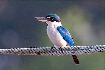 photo of white-collared kingfisher