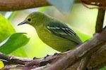 picture of green iora bird found in malaysia