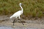 picture of little egret found in malaysia