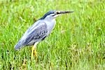 picture of little heron found in malaysia