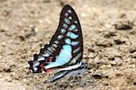 photo of blue jay butterfly in malaysia