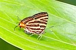picture of club silverline butterfly found in malaysia