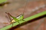 picture of immature grasshopper
