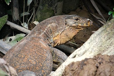 photo of a huge monitor lizard in malaysia