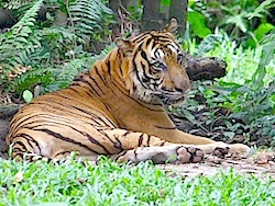 image of a malayan tiger