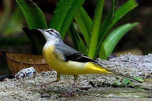 yellow wagtail, found in malaysia